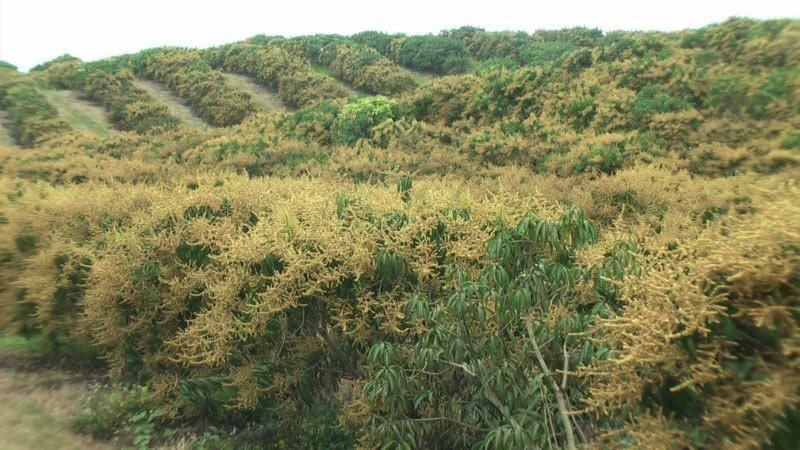 Vista general de una plantación de cultivo de mango en etapa de floración en Cerecita, Guayas.