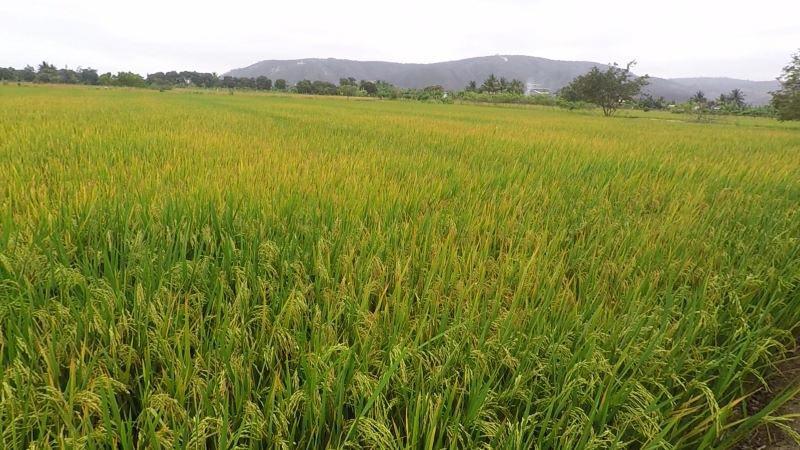 Cultivo de arroz en etapa de maduración en Daule, provincia del Guayas.