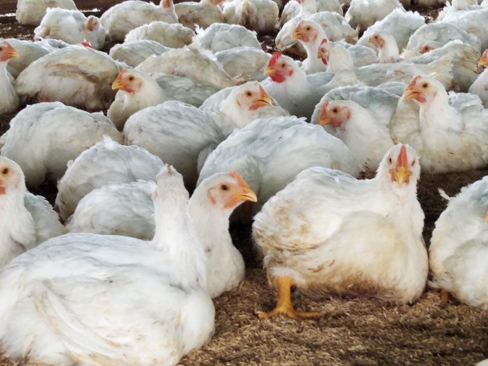 granja de pollos broiler o pollo asado de carne tradicional de 6 semanas en Chongón, Guayas.
