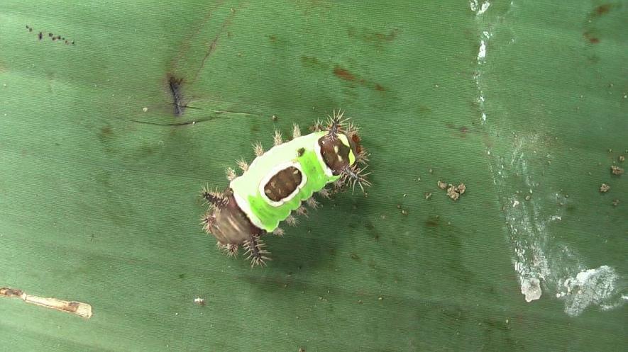 Oruga caterpillar miembro del orden de insectos lepidóptera sobre una superficie verde