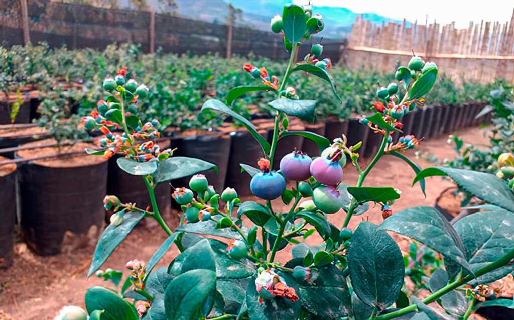 Se conforma la Federación Ecuatoriana de Productores y Exportadores de Arándano