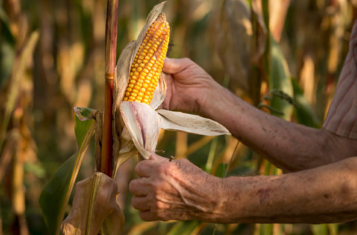 Imagen de una persona cosechando maiz en el campo